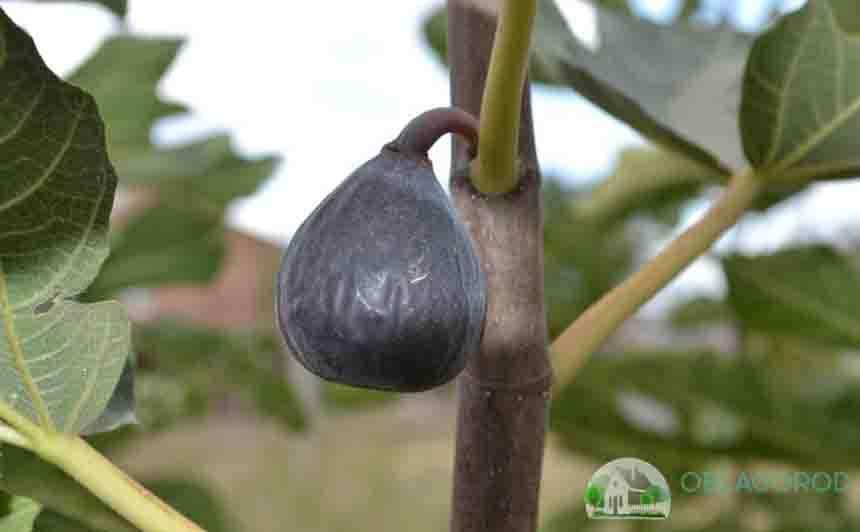 Выращивание и уход за инжиром в домашних условиях