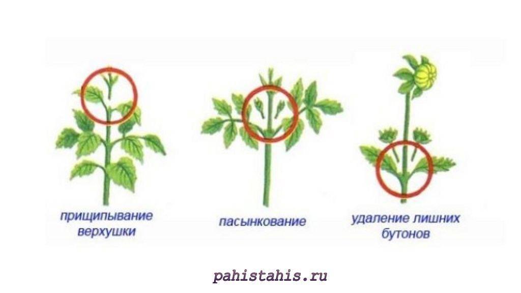 Выращивание здоровой и красивой бегонии: как обрезать и сформировать растение?