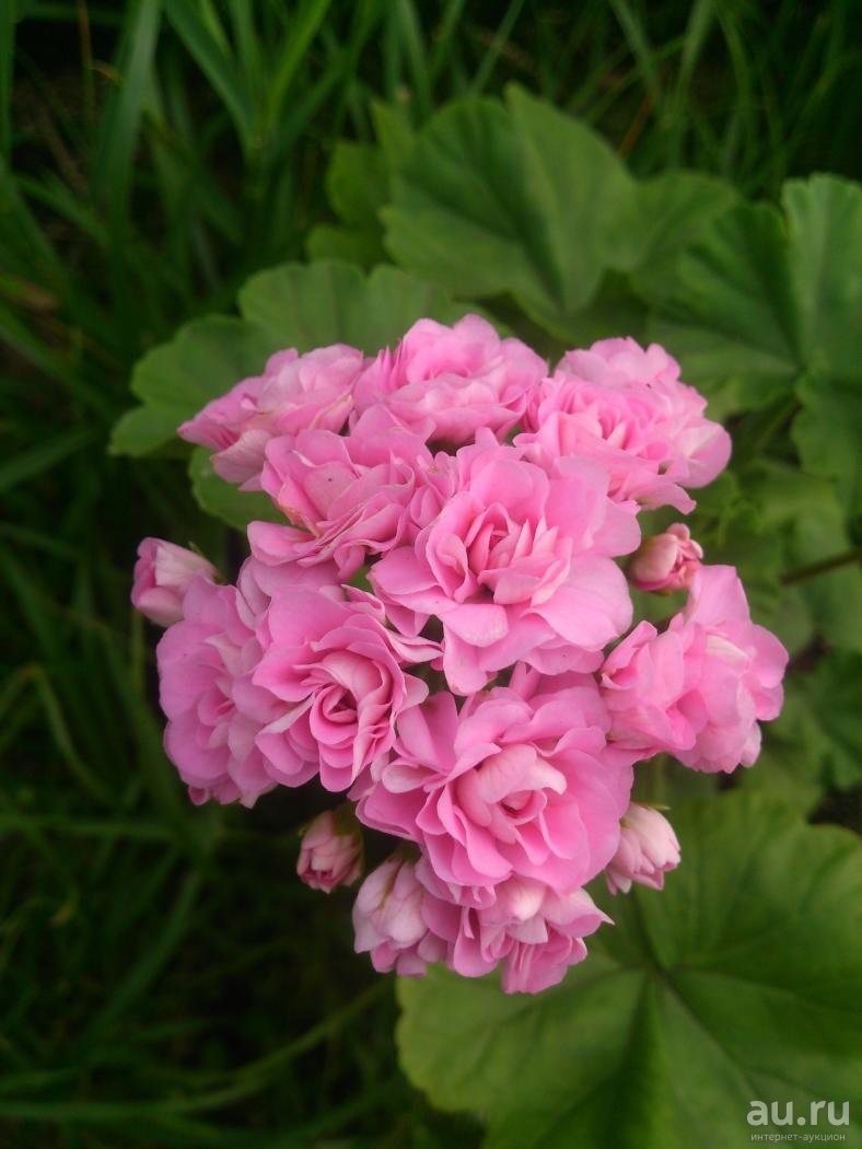 Описание пеларгонии австралиан пинк розебуд australien swanland pink rosebud