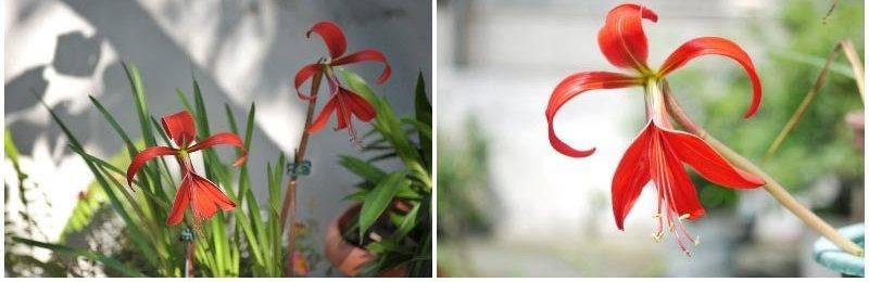 Спрекелия или лилия ацтеков: как ухаживать в домашних условиях
