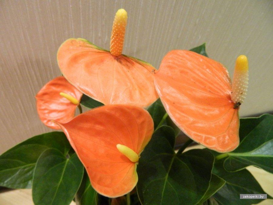 Описание видов и сортов антуриума разных цветов: фиолетовые, оранжевые и другие
