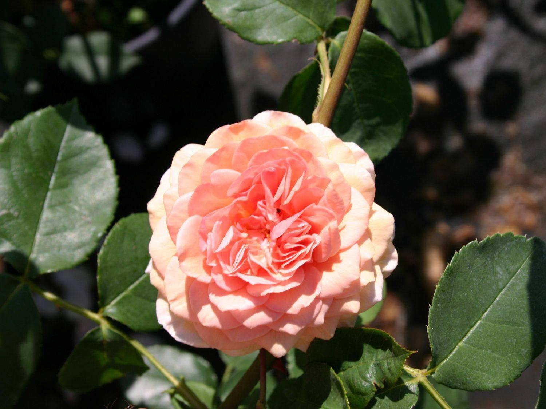 Английские розы: описание и фото лучших представителей групп сортов дэвида остина