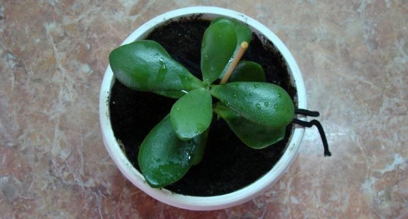 Как посадить отросток денежного дерева без корней. как правильно посадить отросток денежного дерева