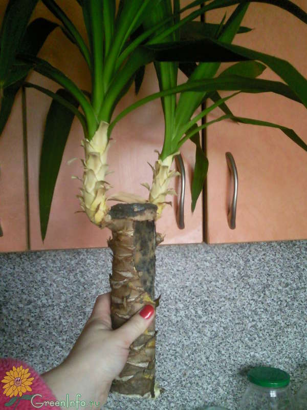 Как пересадить юкку? как правильно пересаживать «ложную пальму» в домашних условиях пошагово? уход за цветком после пересадки