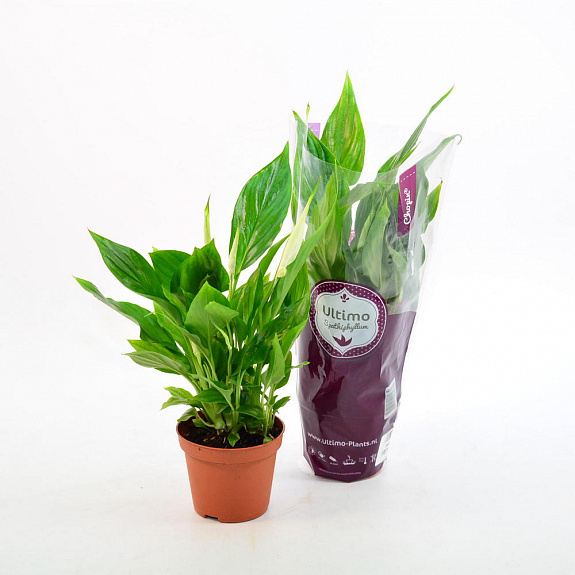 Спатифиллум: родина растения и описание разновидностей