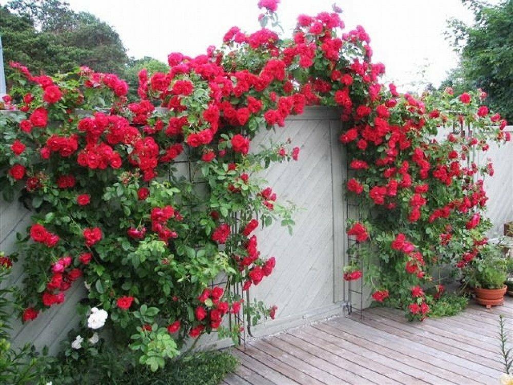 Что делать, если не цветет плетистая роза