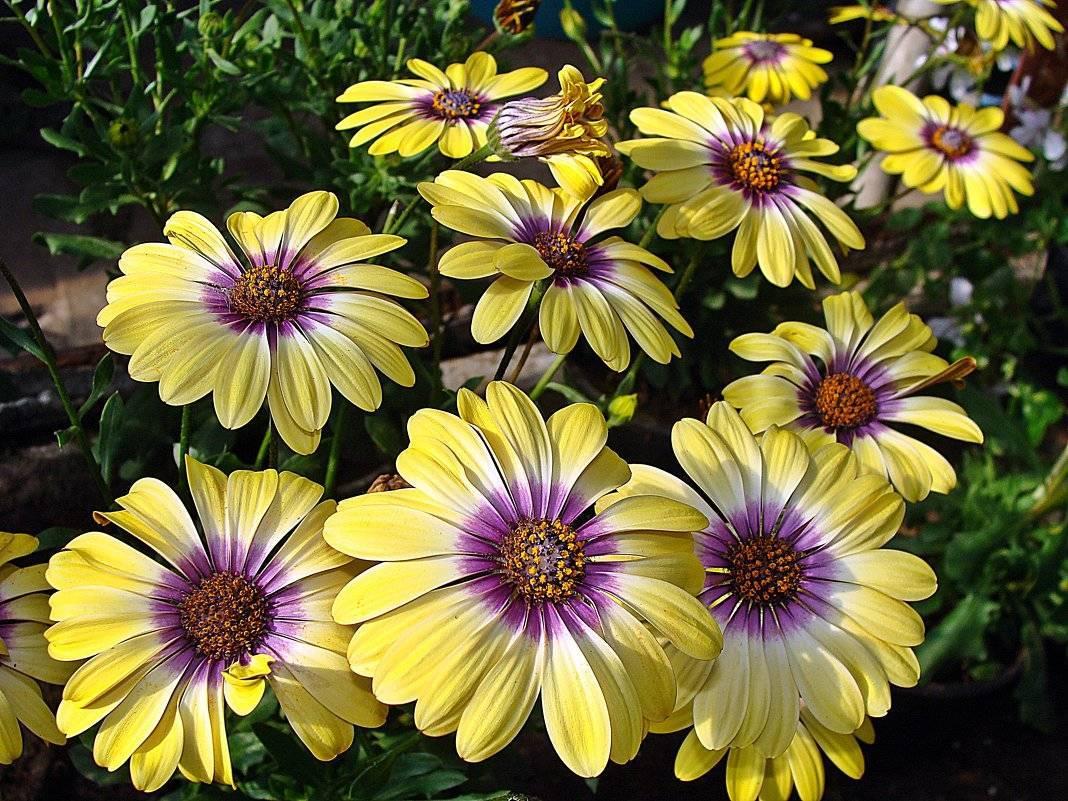 Цветы, похожие на ромашки — особенности растений