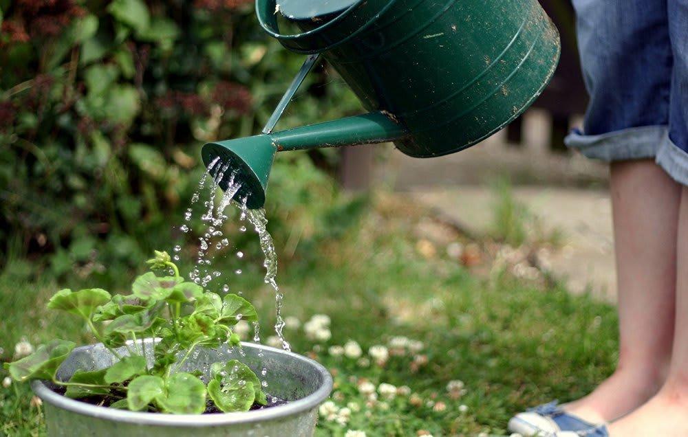 Как часто и правильно поливать клубнику?