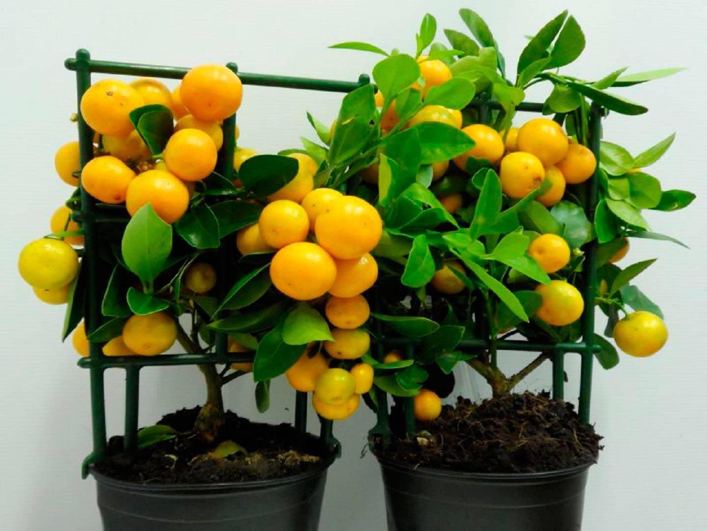 Цитрус каламондин: выращивание в домашних условиях, правила ухода