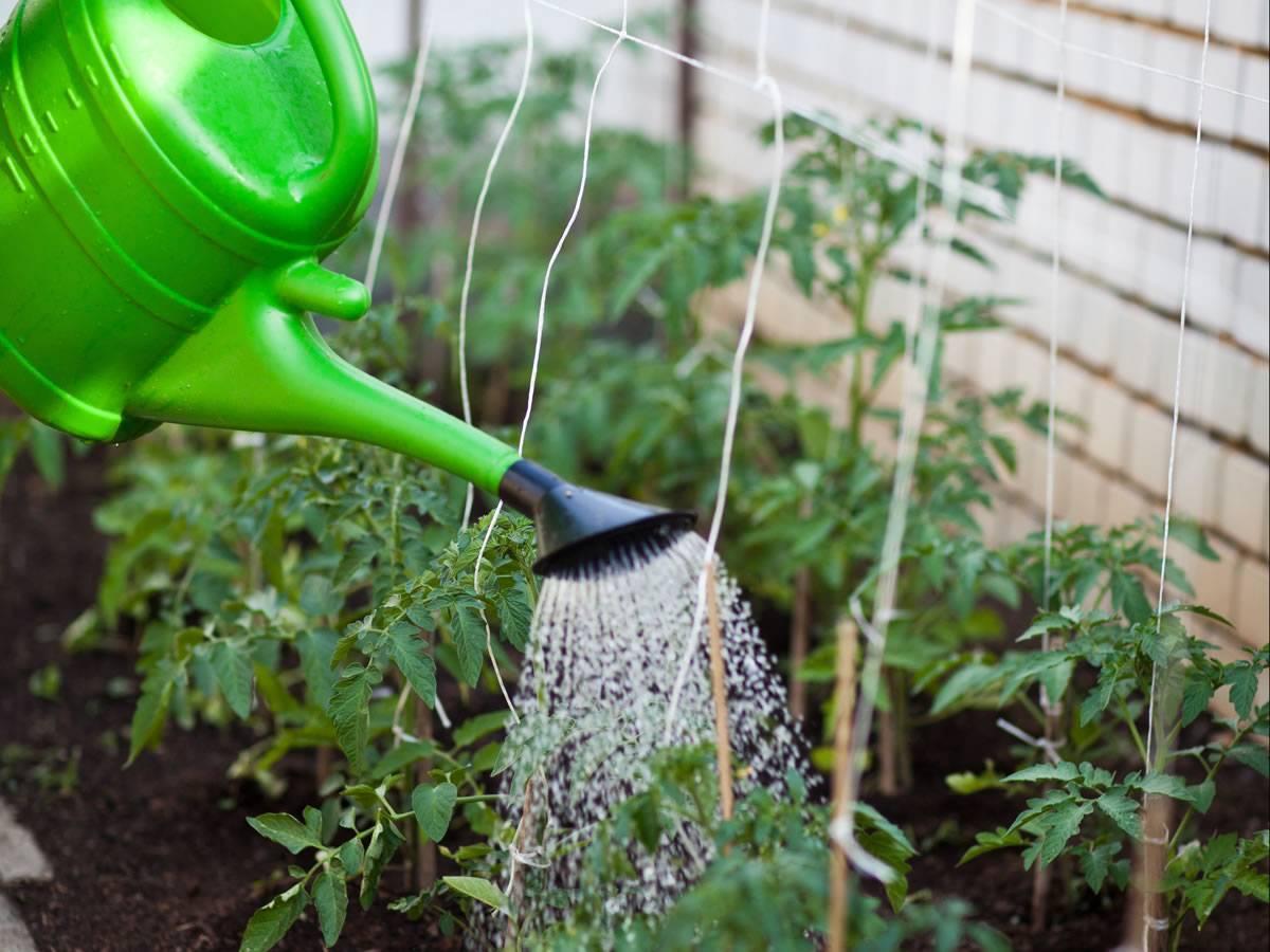 Как посадить и ухаживать за чубушником: сорта, полив, подкормка, болезни, пересадка
