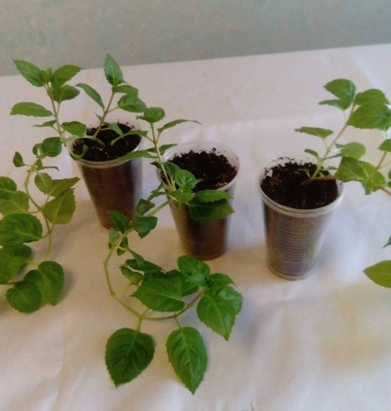 Фуксия: размножения в домашних условиях черенками, видео с черенкованием фуксии, как выращивать черенок дома