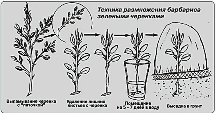 Лапчатка гусиная: описание и выращивание