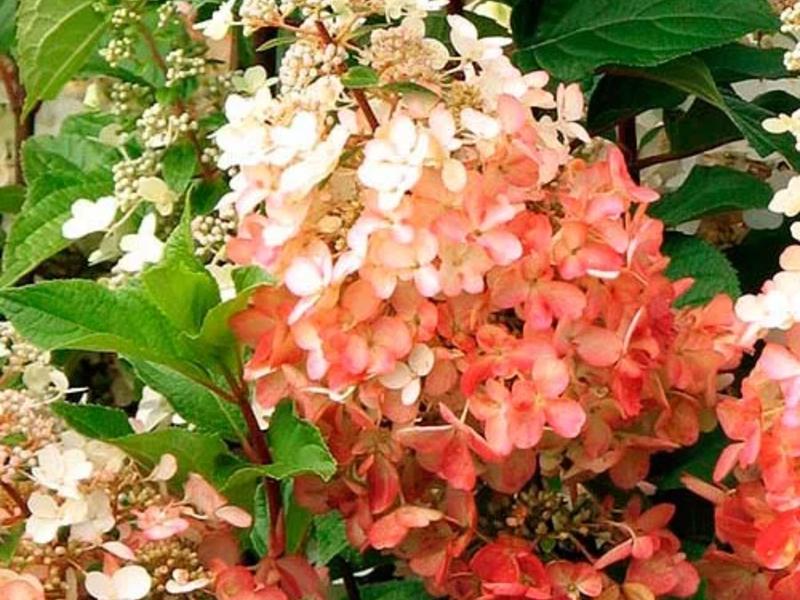 40 сортов гортензий для российских садов