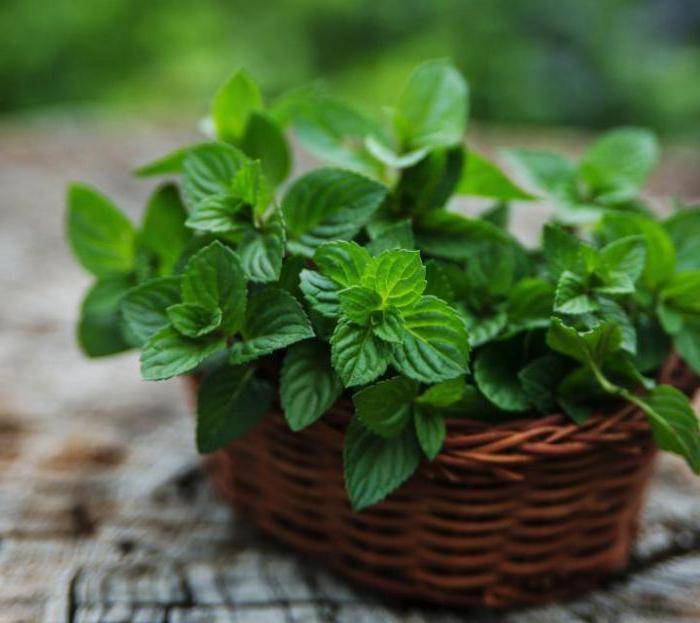 Мята: выращивание из семян дома и в саду