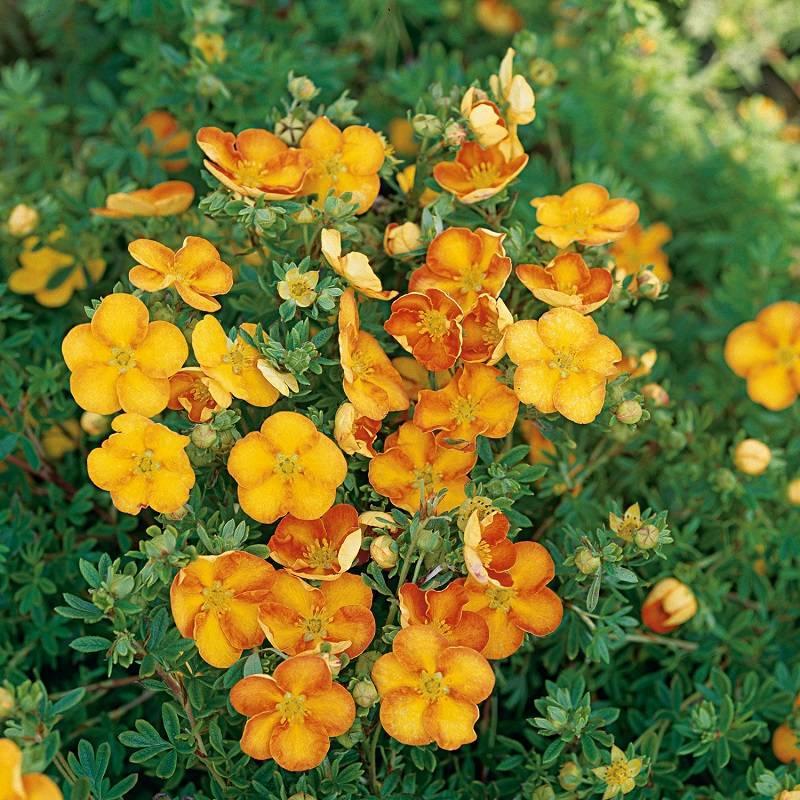 Популярные виды и сорта лапчатки для красивого сада