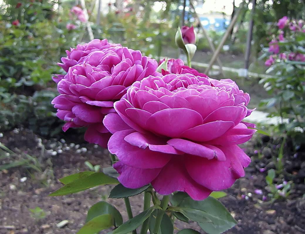 Описание канадской парковой розы сорта аделаида худлесс: как ухаживать