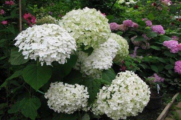 Прекрасные гортензии (сорта и описание): выберите свой цветок!