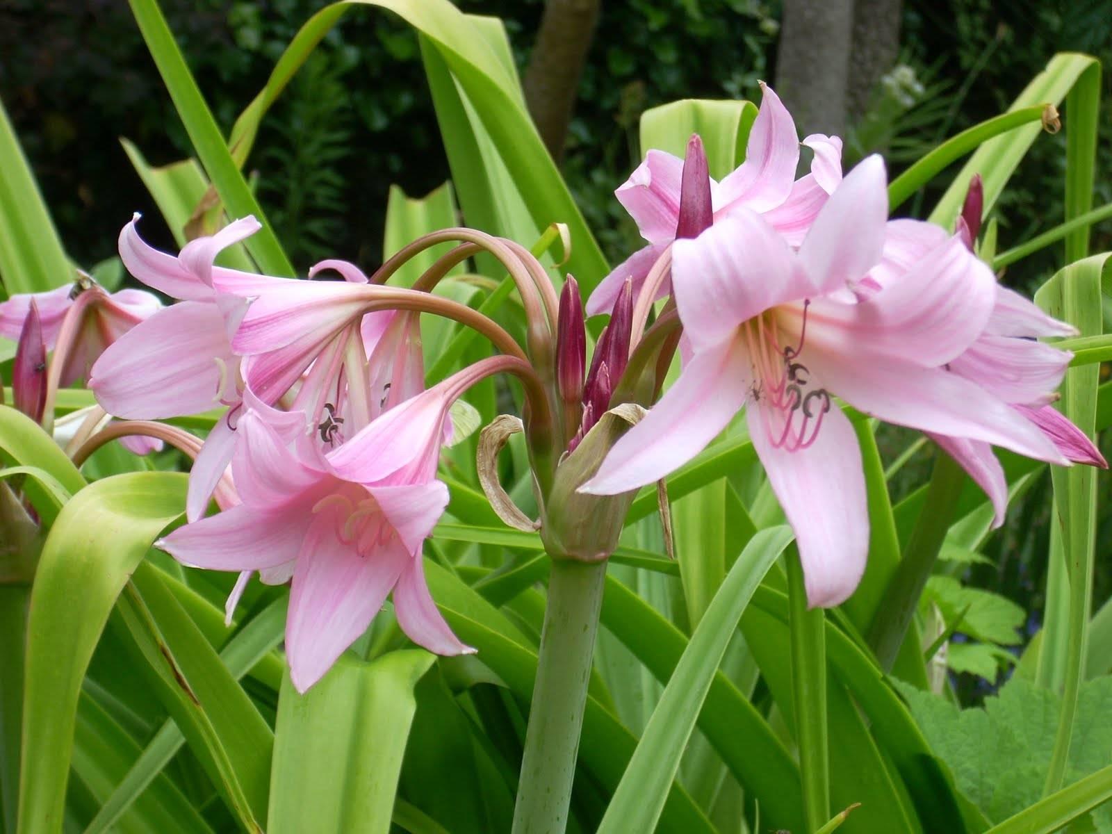 Кринум: волнистый и садовый, каламистратум и азиатский, мура и пауэлла. содержание цветка в домашних условиях. посадка и уход в открытом грунте