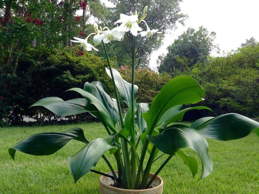 Выращивание и уход за эухарисом в домашних условиях