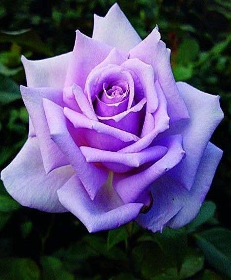 Зеленые розы - сорта, особенности агротехники | о розе
