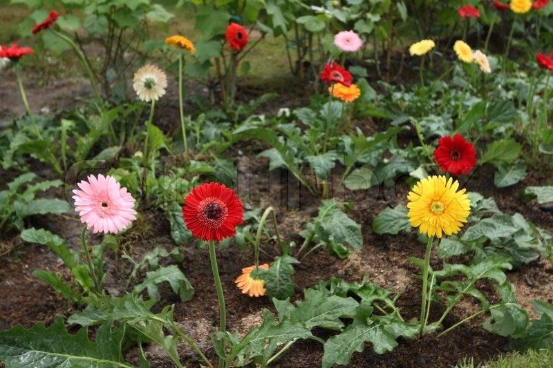 Гербера садовая: посадка и уход, фото, выращивание цветов в открытом грунте на даче, а также похожие многолетние зеленые красавцы на клумбах и рабатках участка