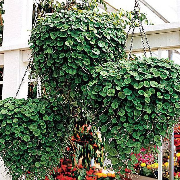 Дихондра серебристый водопад: выращивание из семян в домашних условиях