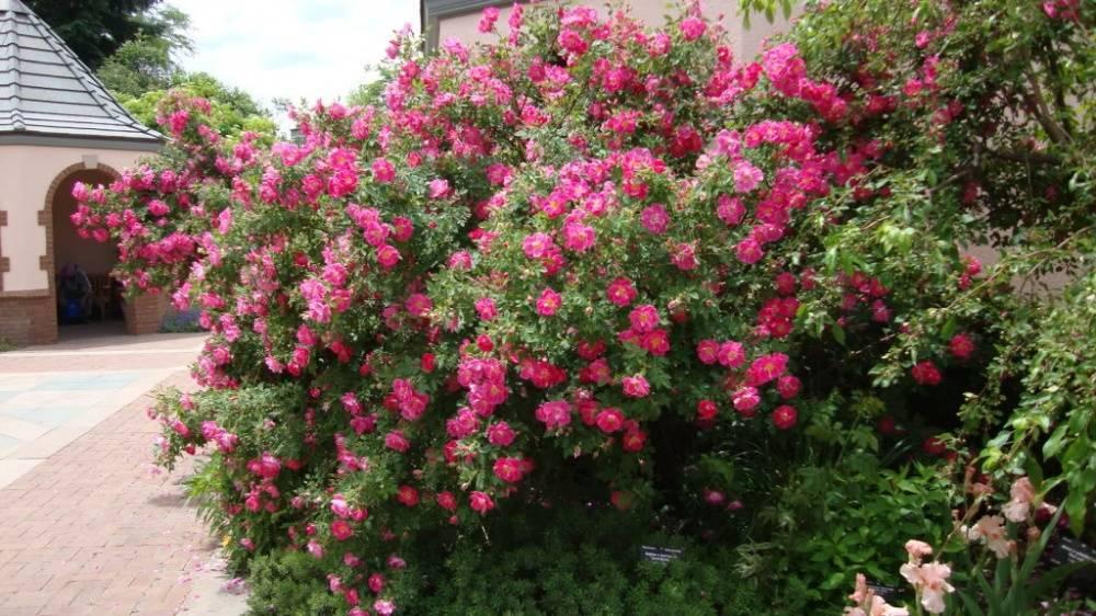 Описание английской сортовой розы вильям моррис: выращивание плетистого цветка