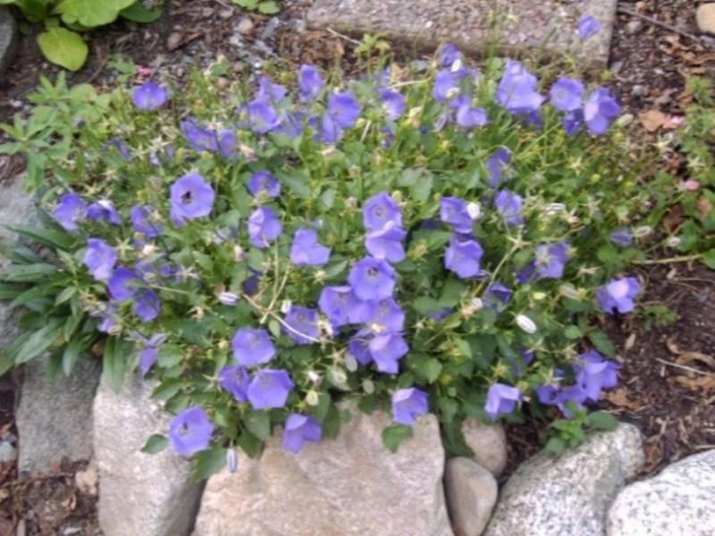 Цветы колокольчики: посадка и выращивание