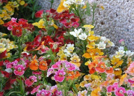 Немезия (58 фото): посадка и уход, ампельные цветы и выращивание из семян в домашних условиях. как сажать на клумбе в открытом грунте?