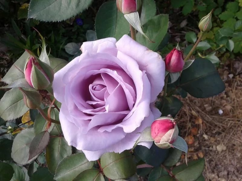 Описание лучших сортов чайно-гибридных роз, посадка и уход в открытом грунте
