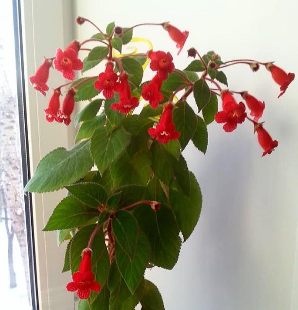 Комнатные цветы, цветущие круглый год (28 фото): описание неприхотливых красивых домашних растений, которые цветут весь год