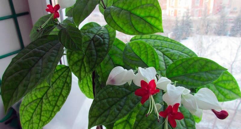 Цветок клеродендрум: уход в домашних условиях, обрезка и размножение