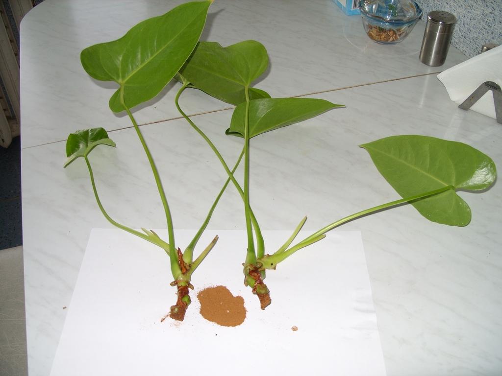 Как посадить антуриум отростком: как укоренить в грунте, какой взять черенок и осуществить размножение растения без корней?