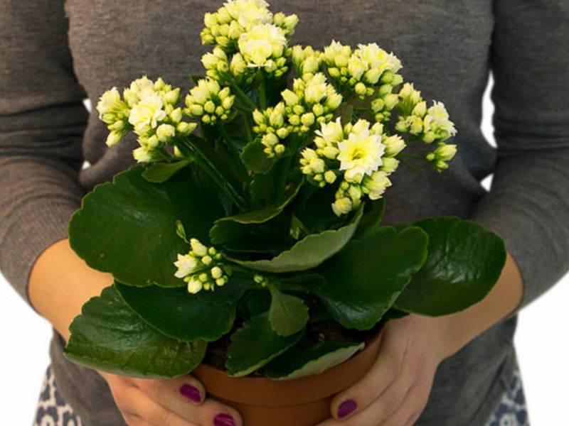 Каланхоэ микс: описание, виды, в том числе мини, фото, польза, применение, и как ухаживать за цветком в домашних условиях и почему правильный уход так важен?