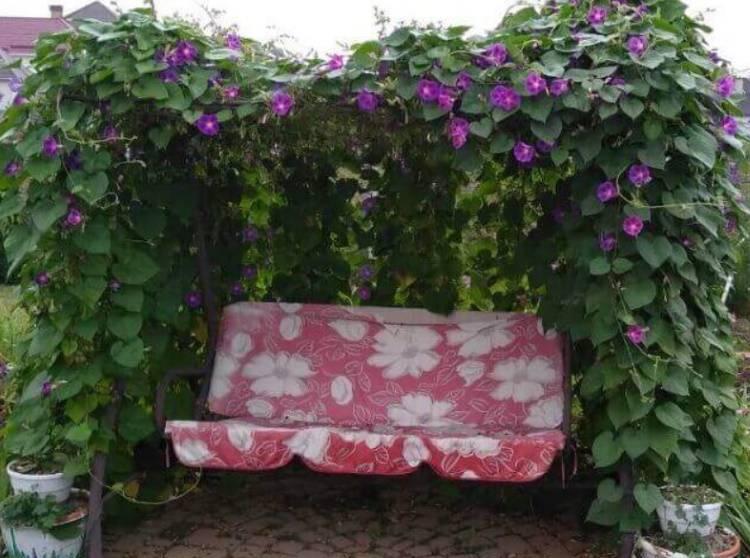 Ипомея ампельная плющевидная, лиственно-декоративная с фиолетовыми листьями