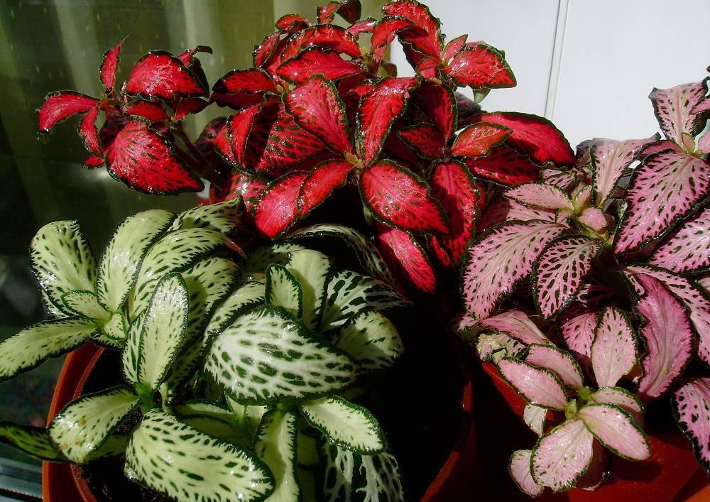 Уход и выращивание фиттонии микс в домашних условиях