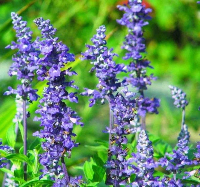 Посадка и уход за растением шалфей дубравный — фото цветка