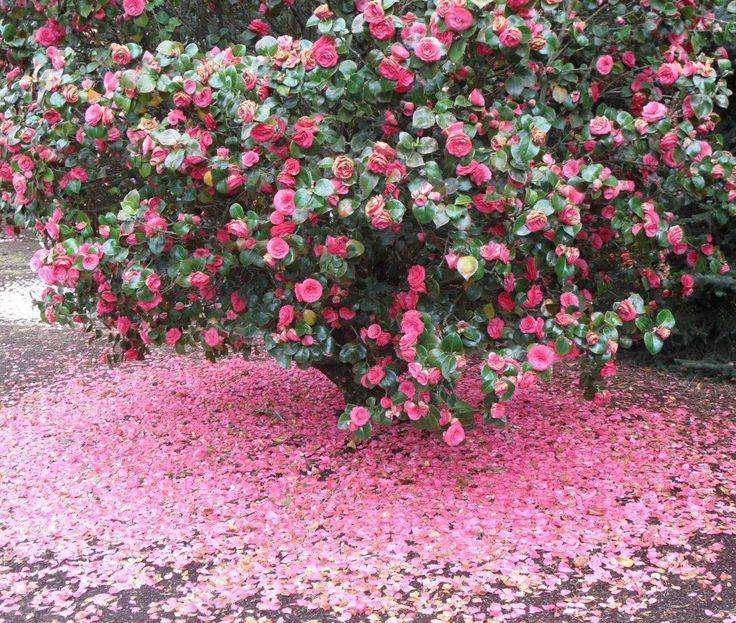 Камелия — уход и выращивание в домашних условиях и в саду ?