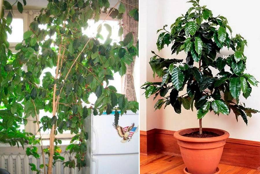 Ароматная арабика к своему столу: правила ухода за кофейным деревом в домашних условиях