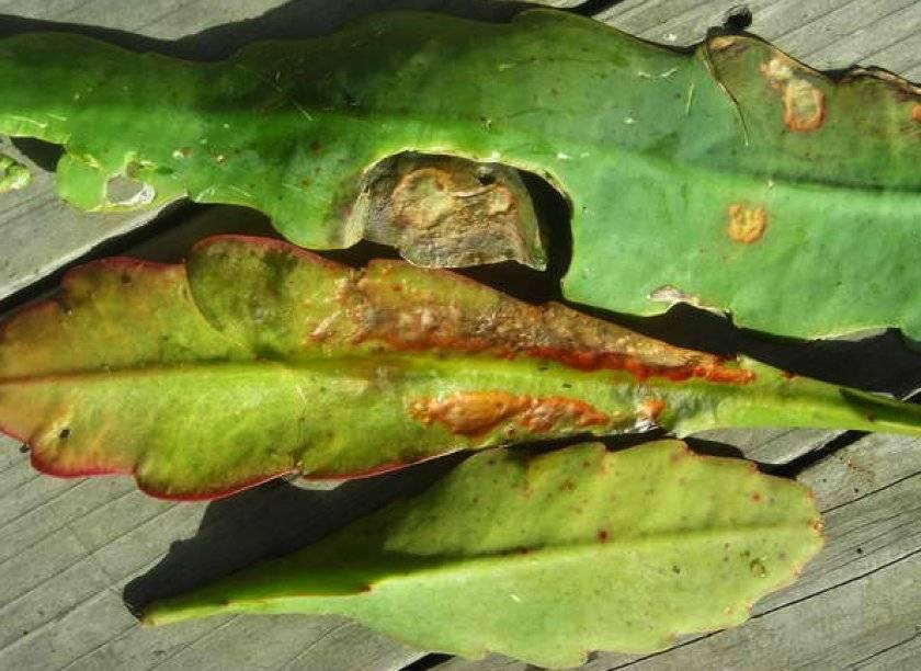 Покраснение и пожелтение листьев, засыхание и другие варианты болезней алоэ