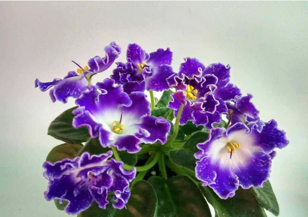 Виды и сорта фиалок (сенполий): полная классификация, 50 фото с названиями