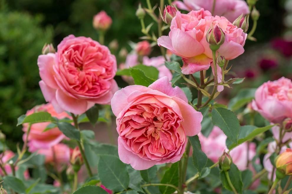 Характеристики гибридного сорта розы мария терезия: как посадить флорибунду