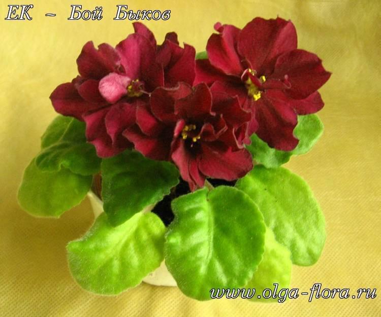 Домашняя фиалка бой быков — описание цветка