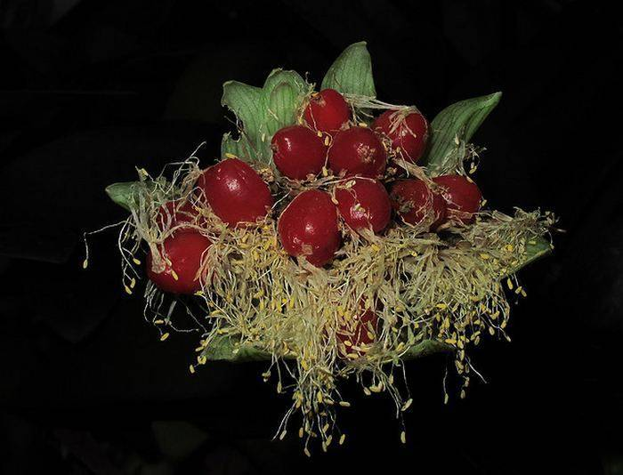 Как вырастить дома необычный цветок гемантус