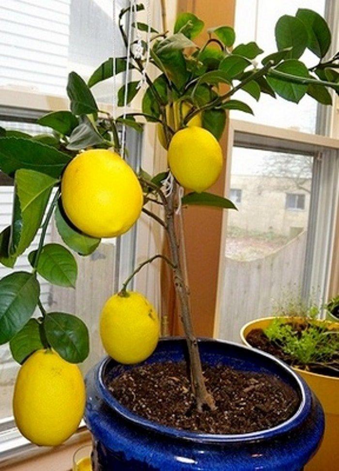 Как правильно обрезать домашний лимон