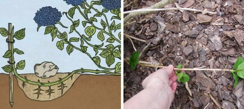 Гортензия древовидная: описание сортов с фото, посадка и уход, размножение и обрезка