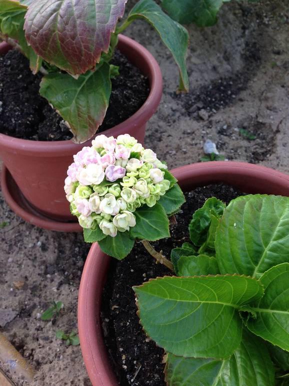 Какую почву любит гортензия комнатная и садовая