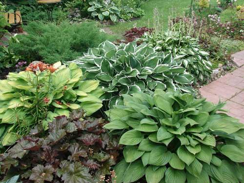 Чем подкормить хосту? чем подкармливать летом для роста? чем удобрять весной для пышного цветения?
