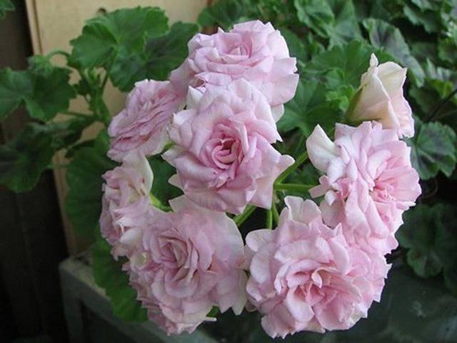Все о выращивании клеомы семенами: посадка и уход за цветками в открытом грунте