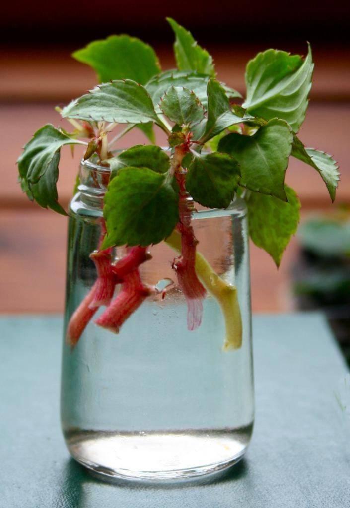 Бальзамин: уход в домашних условиях, выращивание из семян или черенков